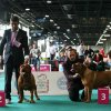 World dogs show Budapest 2013 Aurora Conte di Istria open class female  excellent , 3 placement